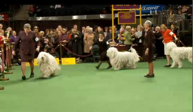 Westminster 2012 Komondor Group