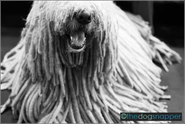 Komondor at Crufts 2012