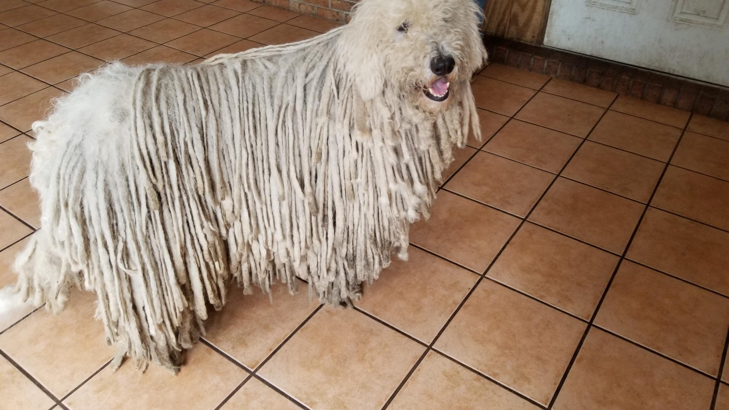 Komondor Rescue Alert Aristotle Florida Adopted Middle